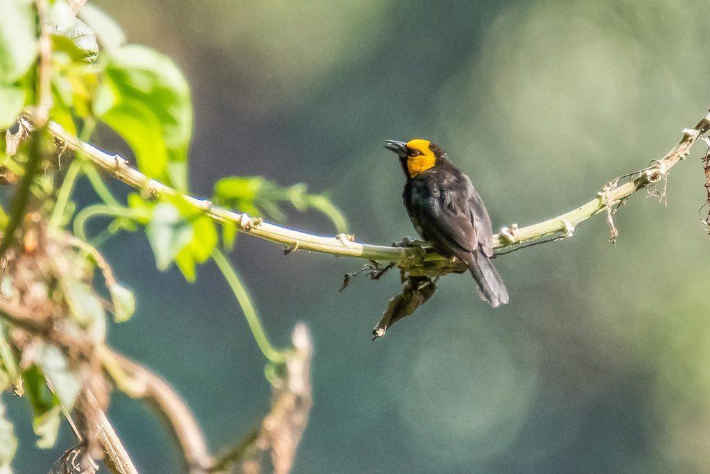 Black-billed Weaver Birding in Bwindi Forest