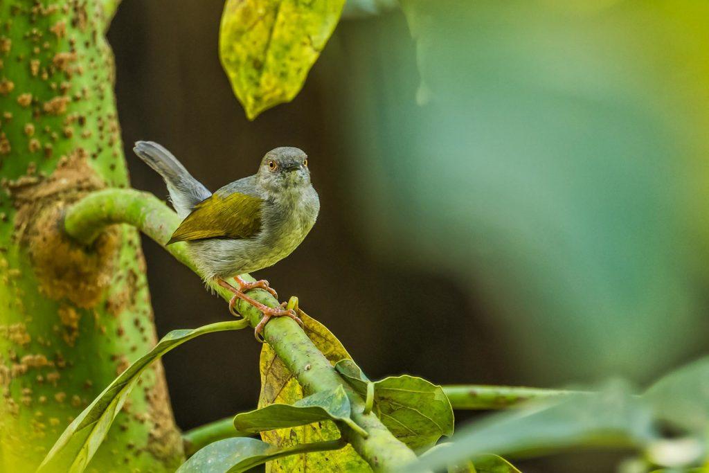 Green-backed Camaroptera Birding in Bwindi Forest