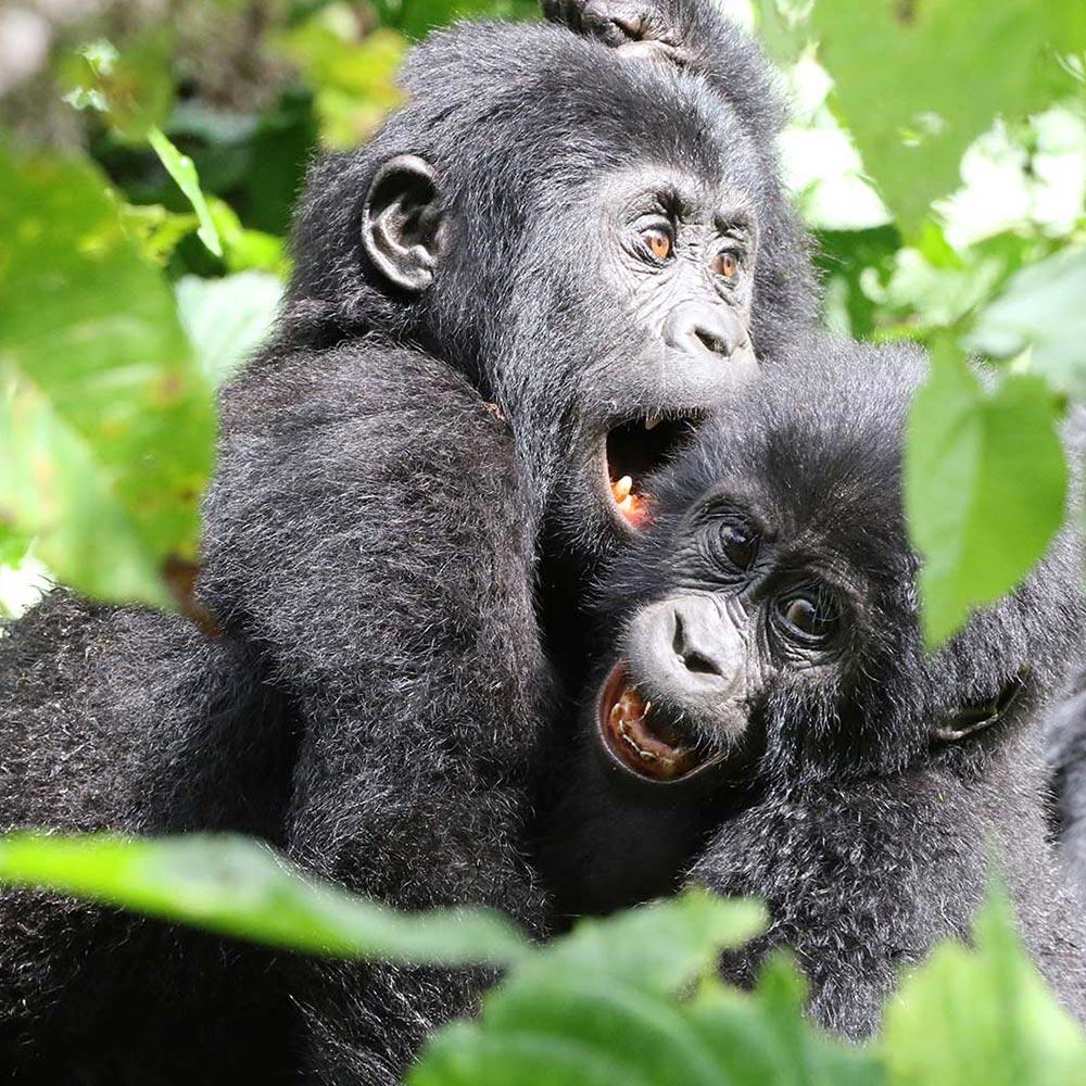 gorilla-tracking-activity