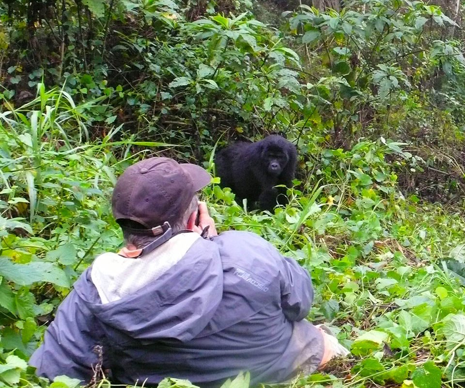 An Encounter with a mountain gorilla in Bwindi