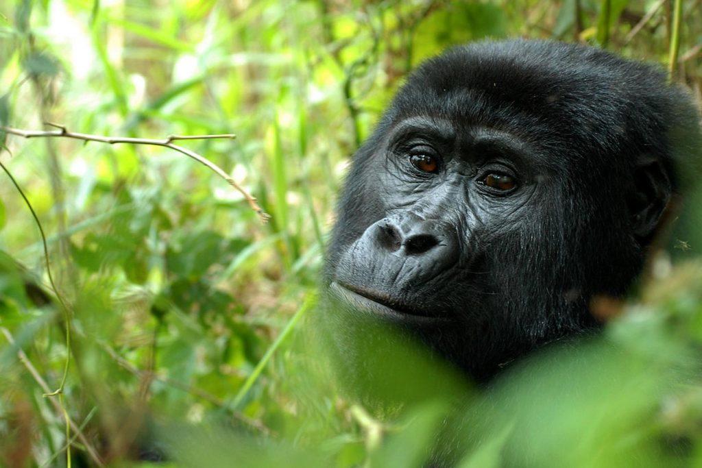 Gorilla Tracking in Nkuringo, Southern Sector of Bwindi