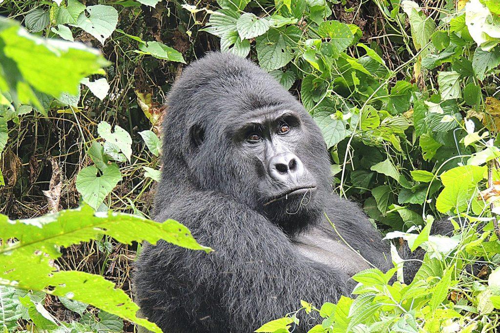 Rushaga Gorilla Bwindi Southern Sector