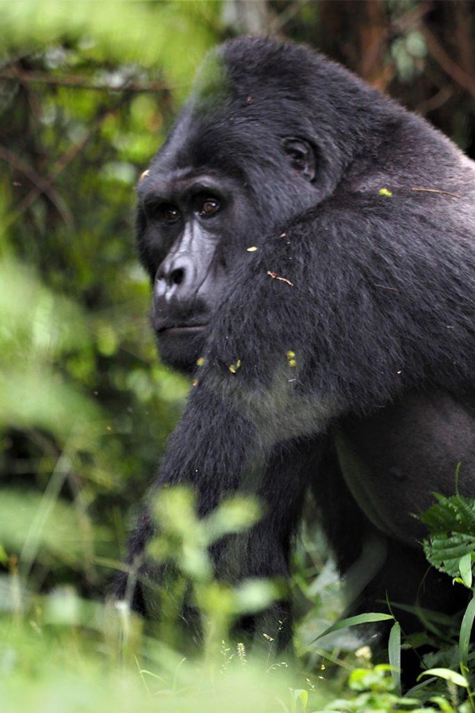 gorilla trekking in Bwindi, Luxury safari lodge