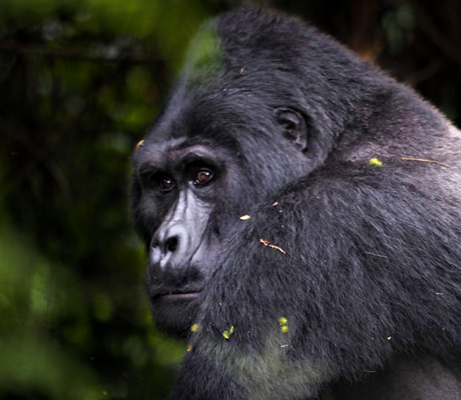 Rafiki, gorilla trekkin gin bwindi